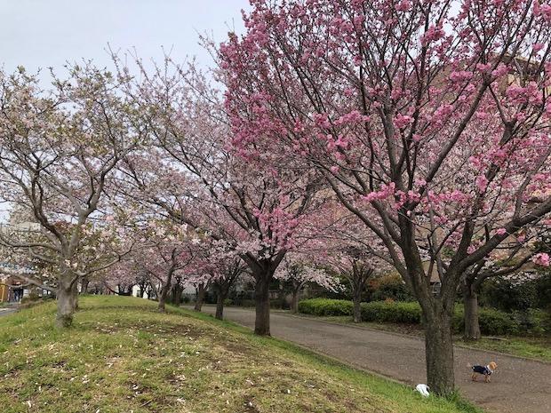 2020sakura_3193.jpg